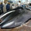 Il Giappone e la caccia alle balene di Mirko Spadoni (Tmag)